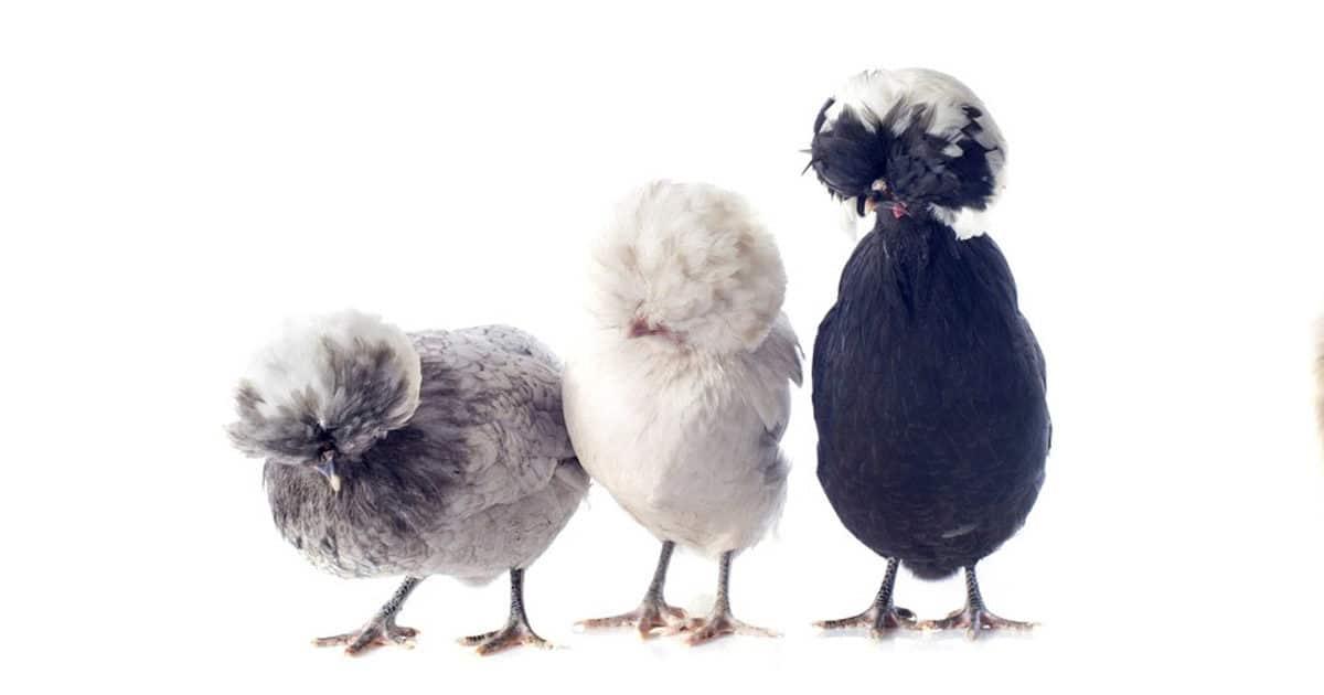 3 poules padoue