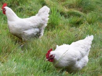 poule gatinaises