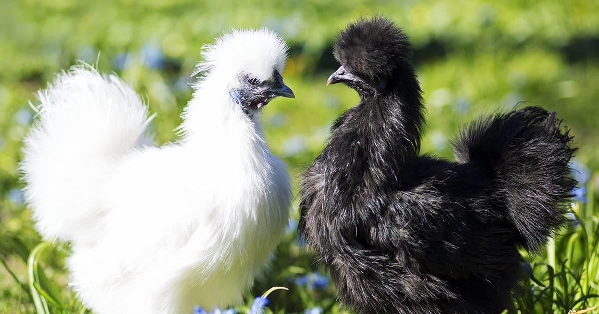 des poules soie