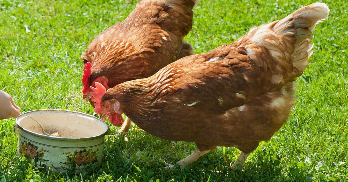 2 poules hybrides