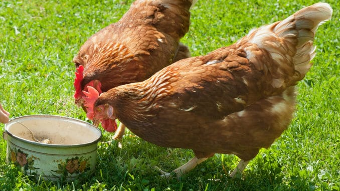 poules rousses