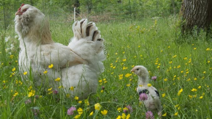 poule poussin faverolles