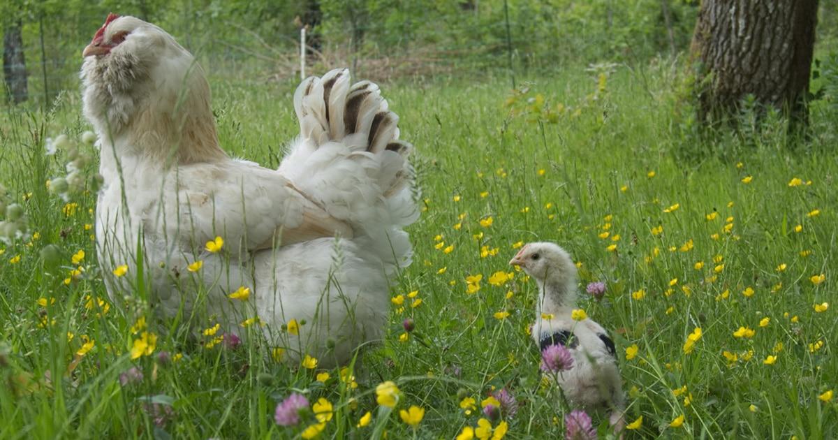 poule faverolles et son poussin