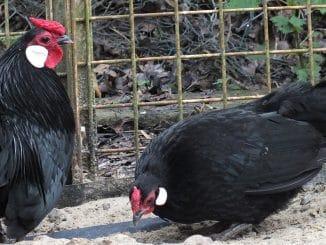 couple java noire