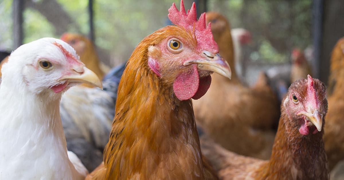 la grippe aviaire frappe les poules
