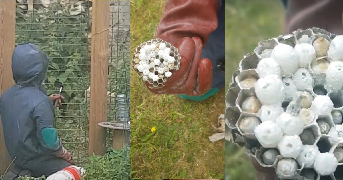 nid de frelon dans le poulailler