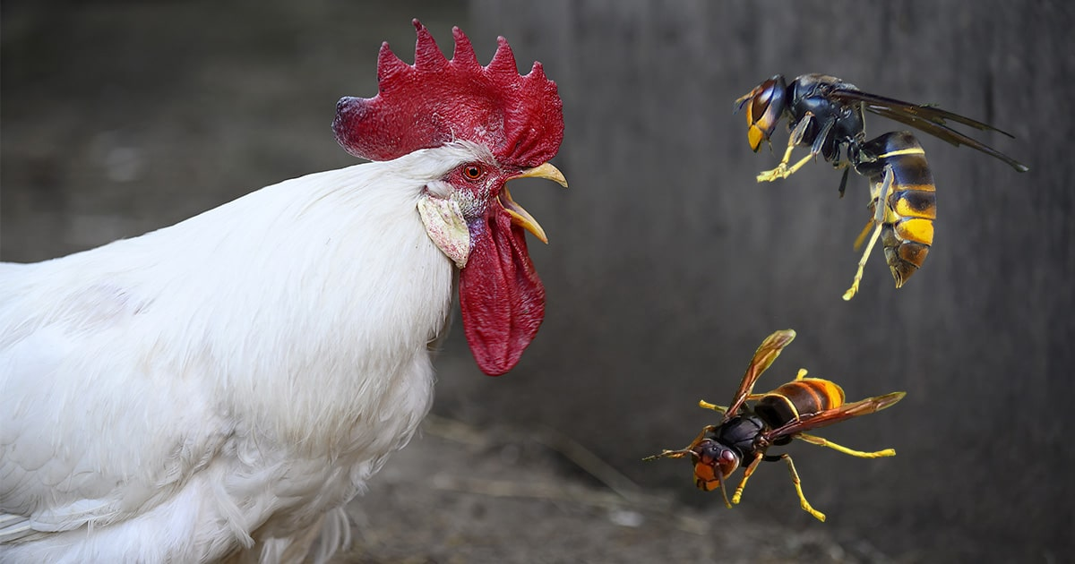 poule frelon asiatique