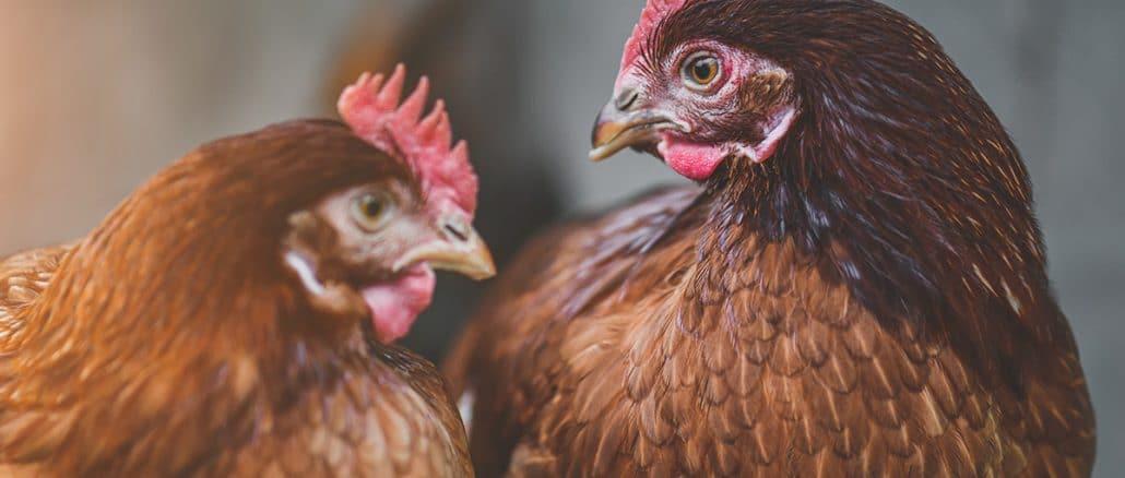Rhode Island poule