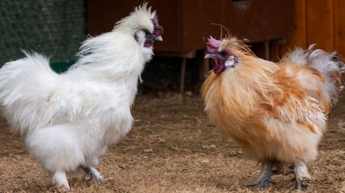 poules sultanes