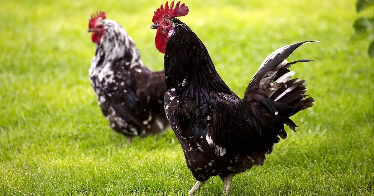 coq et poule de gournay