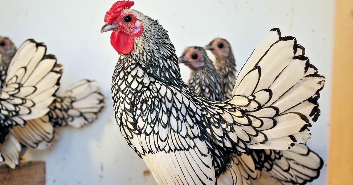 poule Sebright