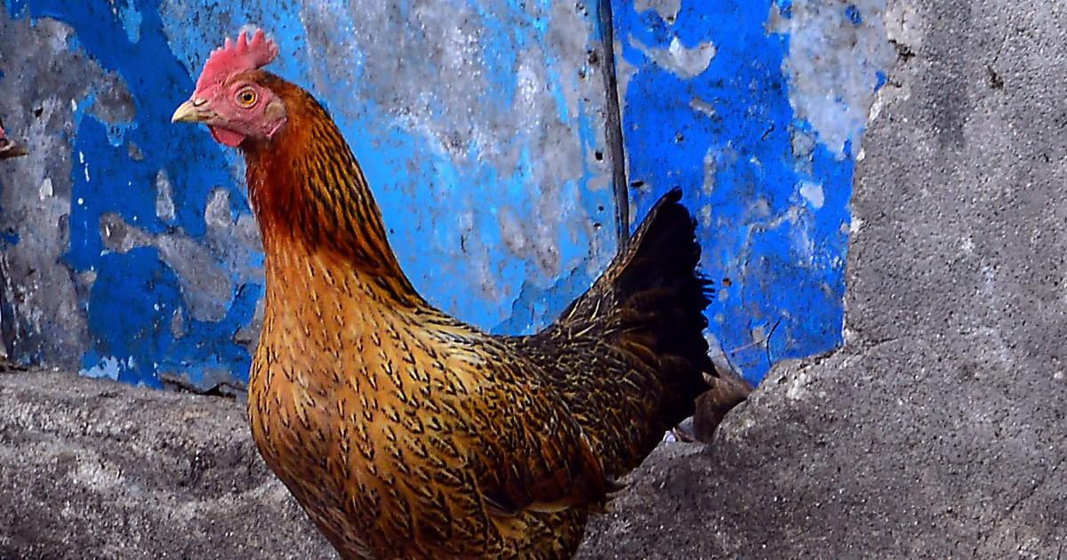 la poule sumatra