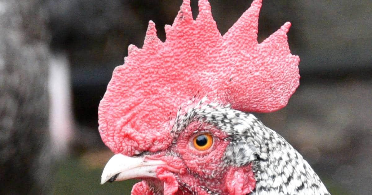 tête d'une poule Plymouth