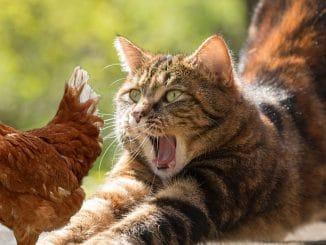 chat poules