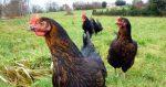 des poules harco