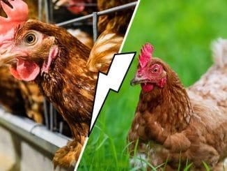 Sauvez une poule